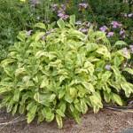 salvia officinalis variegated sq