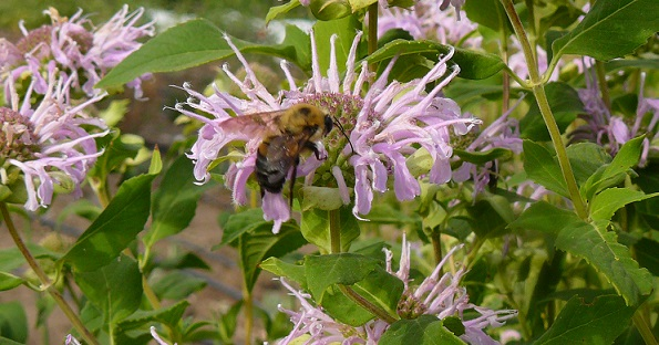 Bee on Monarda crop