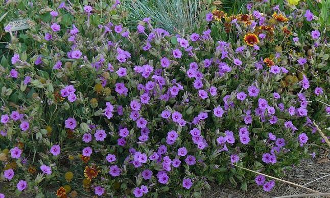 Mirabilis multiflora crop