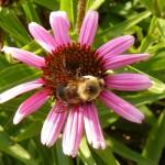 Bee on Echinacea crop