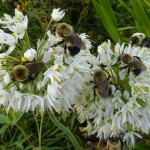 Bees on Allium sm