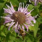 monarda-bee crop